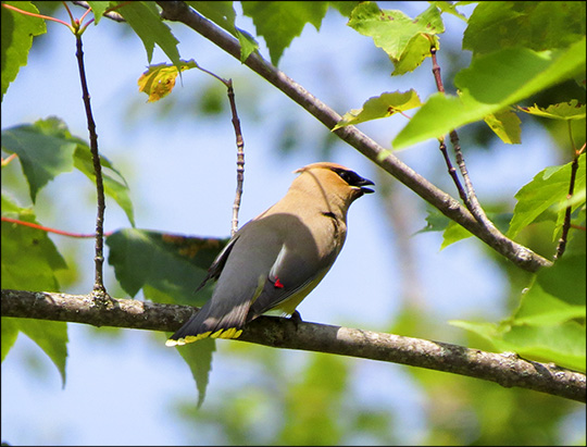 Birds of the Adirondacks: Cedar Waxwing near the VIC building (11 July 2015)