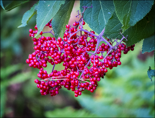 Shrubs of the Adirondacks:  Red Elderberry on the Barnum Brook Trail (12 July 2014)