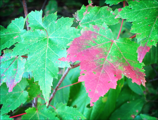 Fall in the Adirondacks: Red Maple on the Barnum Brook Trail (12 September 2012)