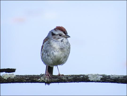 Birds of the Adirondacks:  Swamp Sparrow on Heron Marsh from the Heron Marsh Trail Tower (13 June 2015)