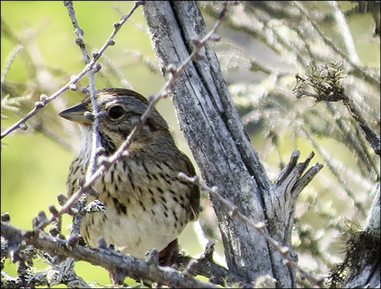 Birds of the Adirondacks: Lincolns Sparrow on Barnum Bog from the Boreal Life Trail board walk at the Paul Smiths VIC (13 June 2015)