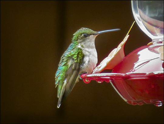 Birds of the Adirondacks: Ruby-throated Hummingbird by the VIC building (14 June 2014)