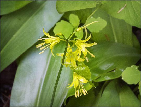 Adirondack Wildflowers: Clintonia on the Boreal Life Trail (14 June 2014)