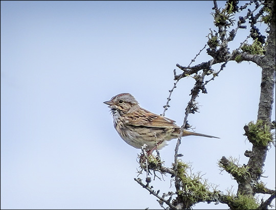 Birds of the Adirondacks:  Lincoln's Sparrow on Barnum Bog (14 June 2014)