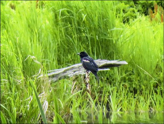 Birds of the Adirondacks:  Red-winged Blackbird on Heron Marsh (14 June 2014)