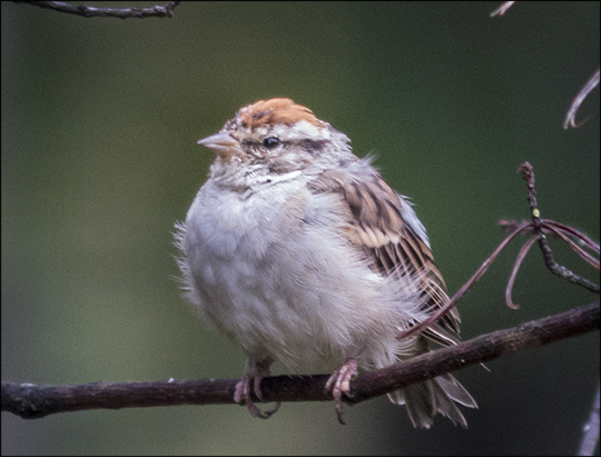 Birds of the Adirondacks: Chipping Sparrow near the VIC Building (14 September 2013)