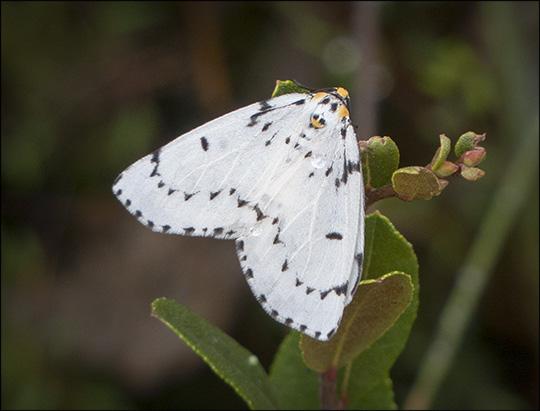 Moths of the Adirondacks:  Chain-Dotted Geometer on Barnum Bog (14 September 2013)