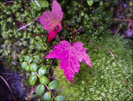 Maple leaves and moss on the Boreal Life Trail (14 September 2013)