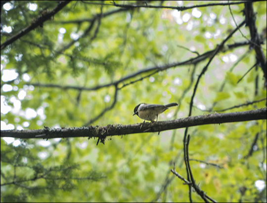 Birds of the Adirondacks: Black-capped Chickadee (14 September 2013)