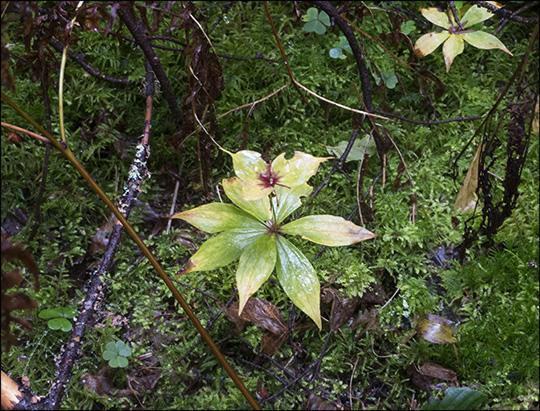 Adirondack Wildflowers: Indian Cucumber Root (14 September 2013)