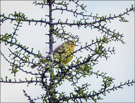 Birds of the Adirondacks: Palm Warbler on Barnum Bog (17 May 2014)