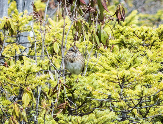 Birds of the Adirondacks:  Lincoln's Sparrow on Barnum Bog (17 May 2014)