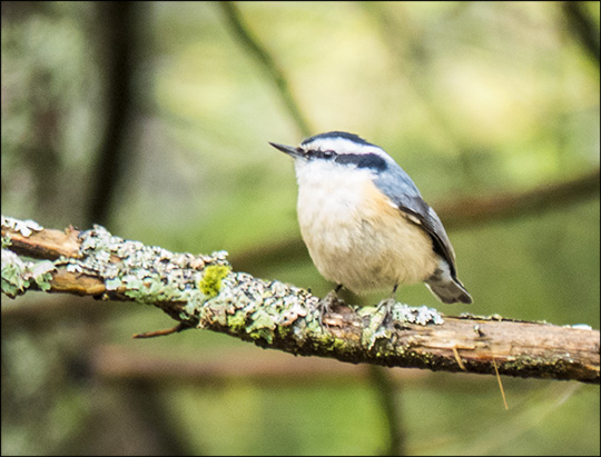 Birds of the Adirondacks: Red-breasted Nuthatch near the VIC building (17 May 2014)