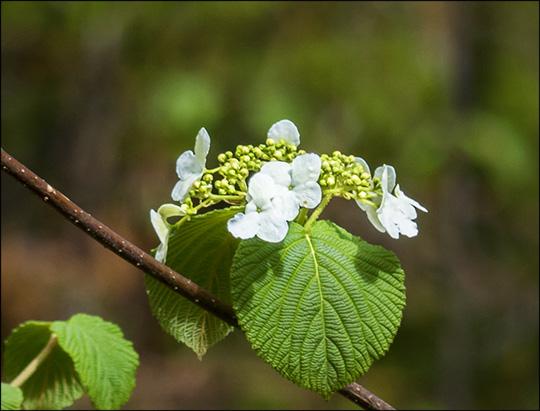 Adirondack Shrubs: Hobblebush on the Barnum Brook Trail (17 May 2014