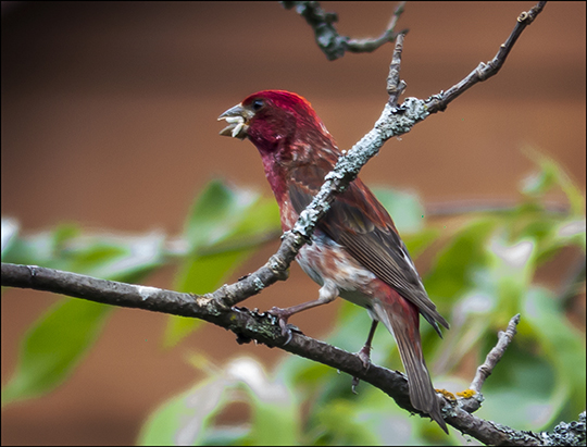 Birds of the Adirondacks:  Male Purple Finch near the VIC Building (18 July 2013)