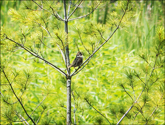 Birds of the Adirondacks: Swamp Sparrow on Heron Marsh at the Paul Smiths VIC (18 July 2013))