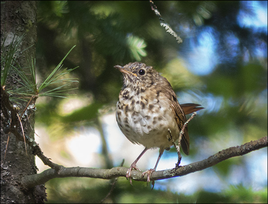 Birds of the Adirondacks:  Hermit Thrush on the Barnum Brook Trail (18 September 2013)