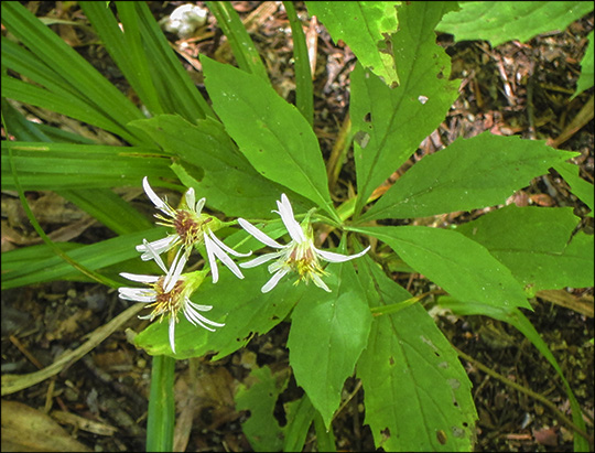 Adirondack Wildflowers: Whorled Wood Aster on the Barnum Brook Trail  (18 September 2013)