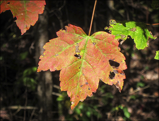 Trees of the Adirondacks: Red Maple (Acer Rubrum) on the Barnum Brook Trail  (18 September 2013)