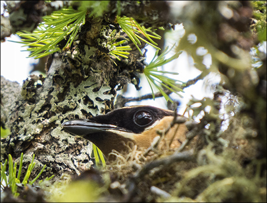 Birds of the Adirondacks:  Cedar Waxwing on her nest on Barnum Bog (19 July 2014)