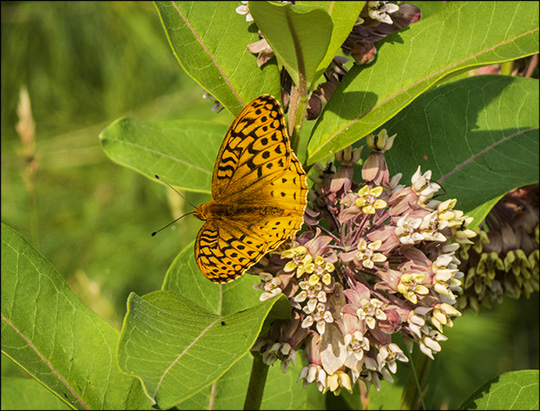 Adirondack Butterflies:  Great Spangled Fritillary on milkweed (19 July 2014)