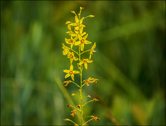 Adirondack Wildflowers:  Swamp Candles on Barnum Bog (19 July 2014)