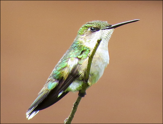 Birds of the Adirondacks:  Ruby-throated Hummingbird (19 July 2014)