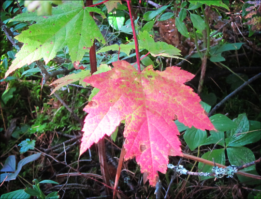 Trees of the Adirondacks: Red Maple at the Paul Smiths VIC (19 September 2012)