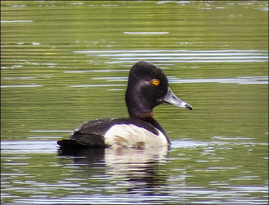 Birds of the Adirondacks: Ring-necked Duck on Heron Marsh (21 June 2014)
