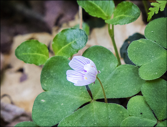 Adirondack Wildflowers:  Common Wood Sorrel on the Boreal Life Trail (21 June  2014)