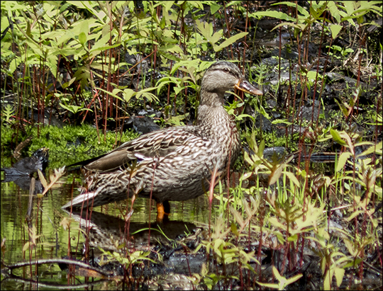 Birds of the Adirondacks:  Mallard on Barnum Brook from the Barnum Brook Trail at the Paul Smiths VIC (22 May 2013)
