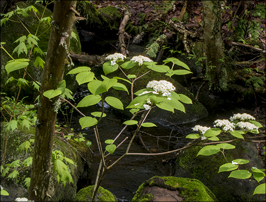 Hobble Bush in bloom on the Barnum Brook Trail at the Paul Smith's VIC (22 May 2013)