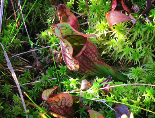 Adirondack Wildflowers:  Pitcher Plant on Barnum Bog at the Paul Smiths VIC (22 September 2012)
