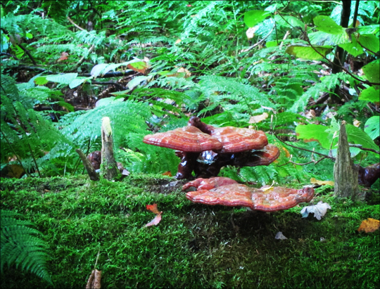 Hemlock Varnish Fungus on the Boreal Life Trail at the Paul Smiths VIC (22 September 2012)
