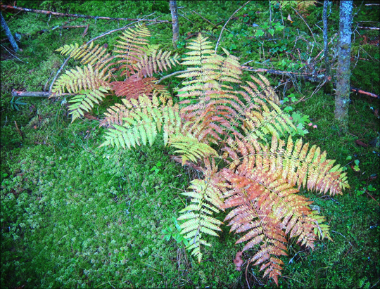 Fall in the Adirondacks: Cinnamon Fern on the Boreal Life Trail at the Paul Smiths VIC (22 September 2012)