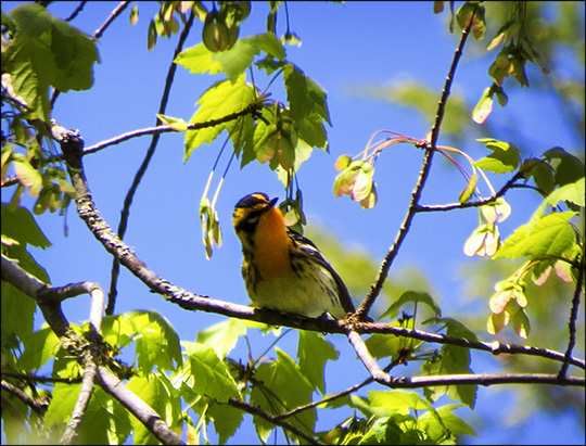 Birds of the Adirondacks:  Blackburnian Warbler on the Boreal Life Trail (23 May 2015)