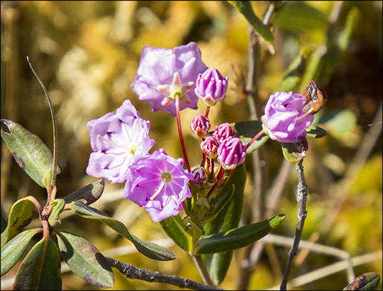 Shrubs of the Adirondacks:  Bog Laurel on Barnum Bog (23 May 2015)