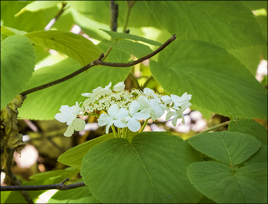 Adirondack Shrubs: Hobblebush on the Barnum Brook Trail (23 May 2015)
