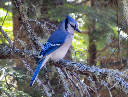 Birds of the Adirondacks:  Blue Jay on the Barnum Brook Trail (23 May 2015)