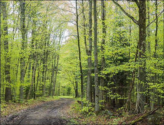 Adirondack Habitats:  Mixed forest along the Loggers Loop Trail (24 May 2014)