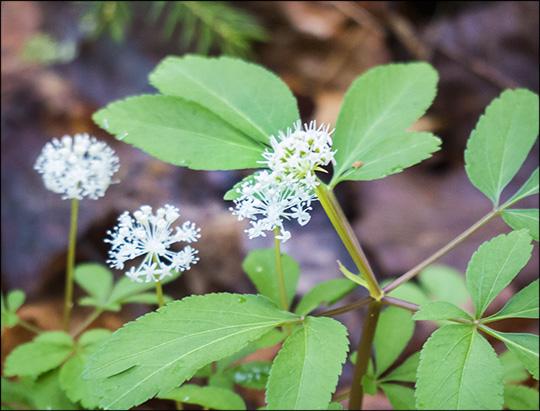 Adirondack Wildflowers:  Dward Ginseng along the Loggers Loop Trail (24 May 2014