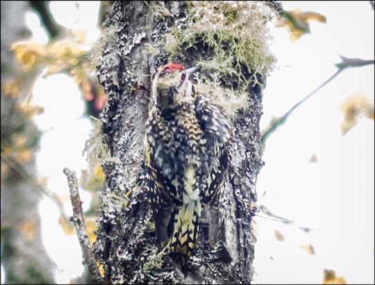 Birds of the Adirondacks: Yellow-bellied Sapsucker (24 May 2014)