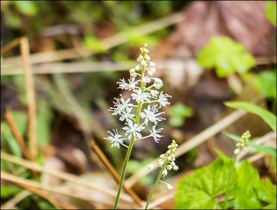 Adirondack Wildflowers: Foamflower on the Loggers Loop Trail (24 May 2014)
