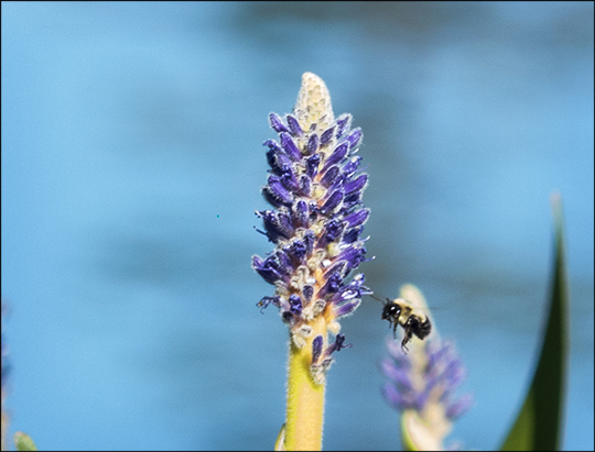 Adirondack Wildflowers: Pickerelweed blooming on Barnum Bog at the Paul Smiths VIC (27 July 2013)