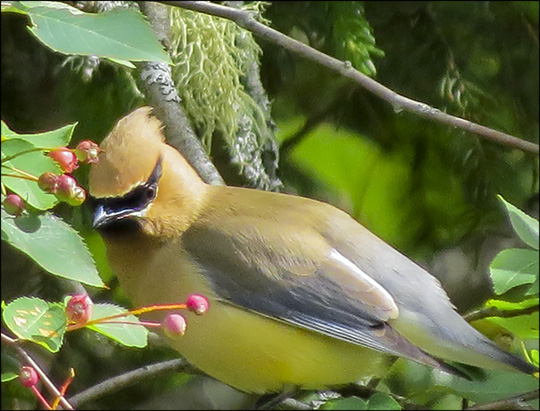 Birds of the Adirondacks: Cedar Waxwing near the VIC parking lot (27 June 2015)