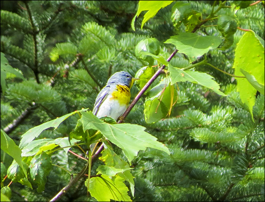 Birds of the Adirondacks:  Male Northern Parula near the VIC parking lot (27 June 2015)