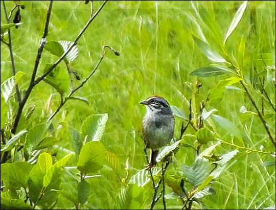 Birds of the Adirondacks: Swamp Sparrow on Heron Marsh at the Paul Smiths VIC (27 June 2015)