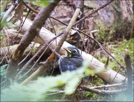 Birds of the Adirondacks: Newly-fledged Black-throated Blue Warbler on the Boreal Life Trail at the Paul Smiths VIC (27 June 2015)