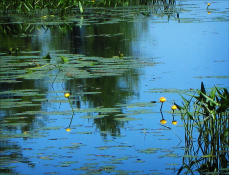 Adirondack Wildflowers: Yellow Pond Lilies in bloom on Heron Marsh at the Paul Smiths VIC (28 June 2012)
