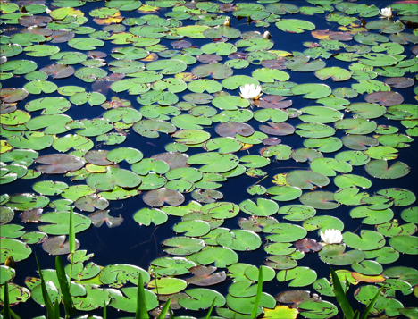 Adirondack Wildflowers: White Water Lilies in bloom on Heron Marsh at the Paul Smiths VIC (28 June 2012)